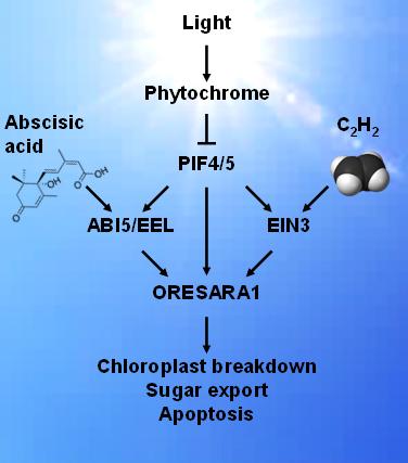 Figure 2. Signaling pathways through which the plant light sensor phytochrome regulates plant senescence.