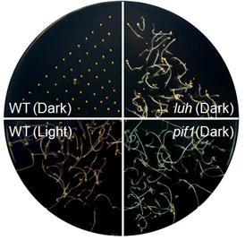 Figure. PIF1 and LUH inhibit seed germination in the dark. Wild-type (WT) seeds germinate only in the light. However, seeds having a mutation on either LUH or PIF1 gene germinate even in the dark.