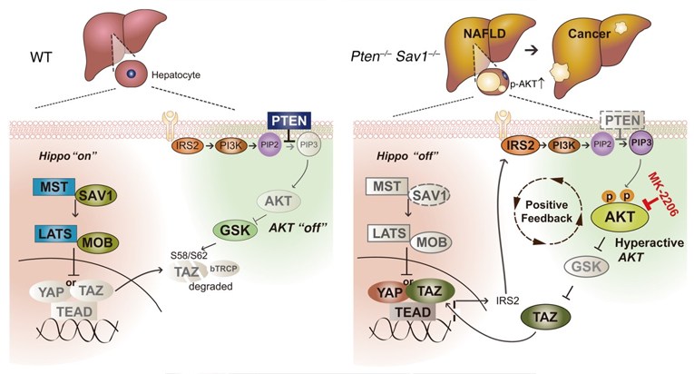 Schematics for the positive feedback loop linking Hippo/YAP/TAZ and IRS2/AKT signaling in the liver of DKO (Pten–/– Sav1–/–) mice. Hippo signaling interacts with AKT signaling by regulating IRS2 expression and prevents NAFLD and liver cancer progression.